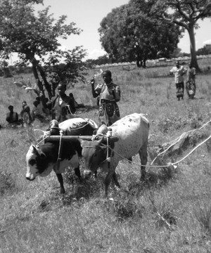 Female farmers oxen ploughing in Uganda