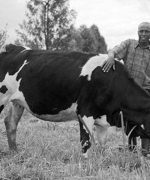 Kenyan farmer with his cow