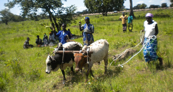 Female farmers oxen ploughing in Uganda