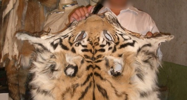 A man holding up a tiger skin